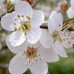 Bach virágeszencia cseresznyeszilva 10ml