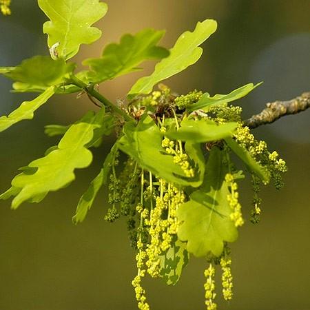 Bach virágeszencia tölgyfa 10ml