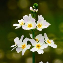 Bach virágeszencia békaliliom 10ml