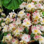 Bach virágeszencia fehér vadgesztenye 10ml