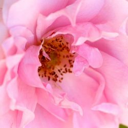 Bach virágeszencia vadrózsa 10ml