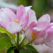 Bach virágeszencia vadalma 10ml