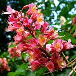 Bach virágeszencia vörös vadgesztenye 10ml
