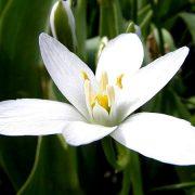 Bach virágeszencia ernyős madártej 10ml