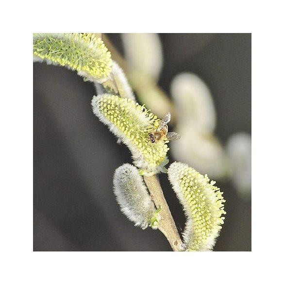 Bach virágeszencia fűzfa 10ml