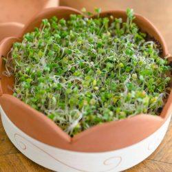 Dénes Natura Brokkoli mag csíráztatásra 200g